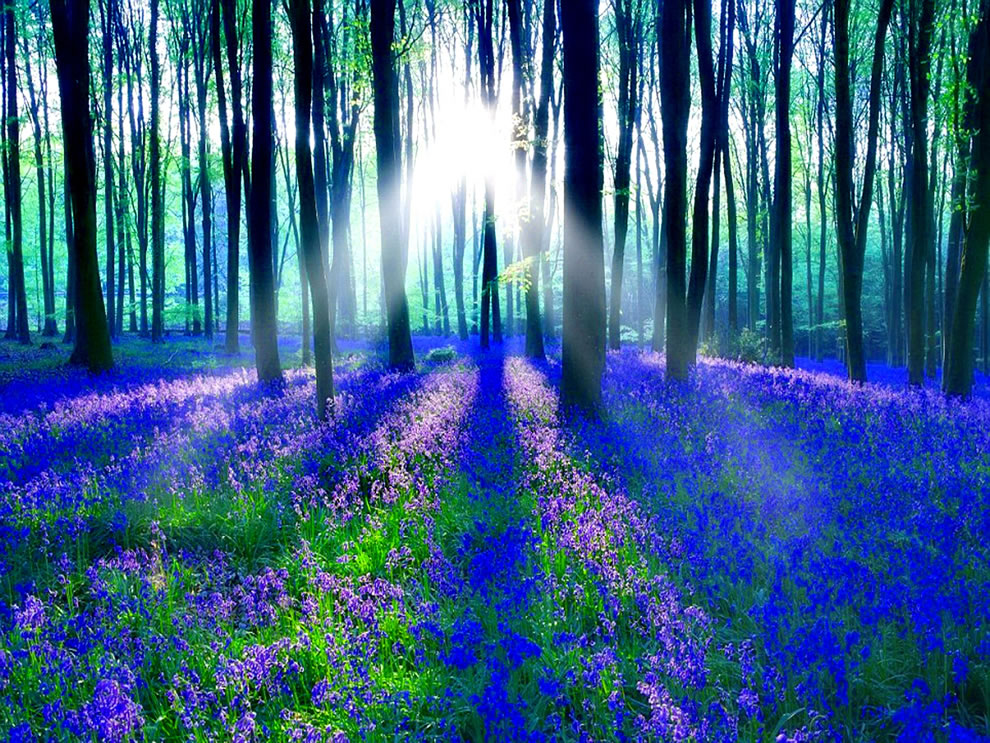 Sunlight-on-the-enchanted-forest-of-bluebells_unifav